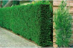 Snelst groeiende coniferenhaag Leylandii Nu 3 meter van 74.25 voor maar 29.95 euro