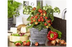 Snoeptomaten planten. 2 stuks voor maar 6.95